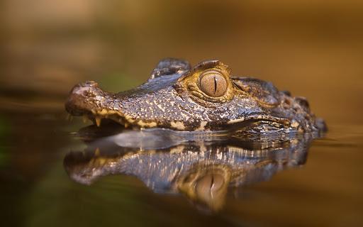Alligator Live Wallpaper