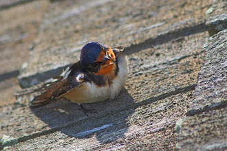 Photo: A Barn Swallow cooling off for #BirdPoker : Contortionists curated by +Phil Armishaw  Contortionist may be a stretch (opps, pun), however it was a rather comedic pose. It held that way for quite some time, so I guess it's a way to cool down?