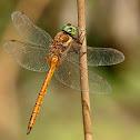 Libélula (Green-eyed Hawker)