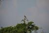 Sri. Lanka Wilpattu National Park . Two hornbills.