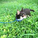 Domestic dog (chihuahua)