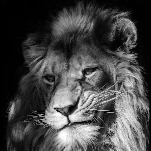 African Lion-18.jpg
