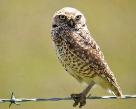 Photo: Burrowing Owl - G. Smith