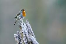 roodborstje zingt op afgebroken, verijsde, boomstam