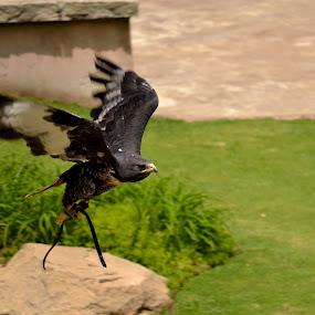 Lady Jackal Buzzard by Graeme Wilson - Novices Only Wildlife