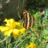 Yellow Sailor Butterfly