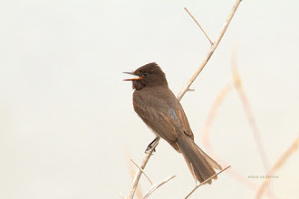 Photo: Olive Sided Fly catcher