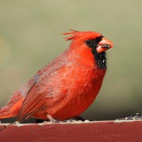 Cardinal by Leslie Hendrickson - Animals Birds ( bird, red, cardinal, nature, wildlife,  )