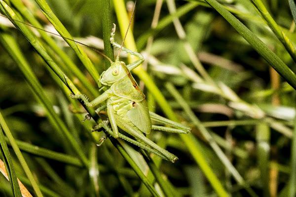 cavalletta verde tra il verde  di PaolaTizi