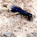 Wood Roach Wasp