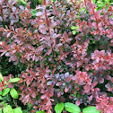 Red- tipped photonia