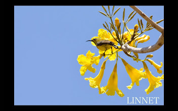 Photo: キバラタイヨウチョウ (英)Olive-backed Sunbird