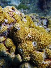 Photo: Zooanthid, Palythoa caribaeorum, very common on these fringing reefs.