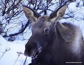 Photo: Baby moose in the hills above Homer