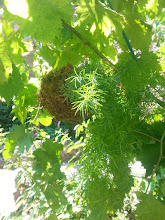 Photo: kokedama suspendu (avec incorporation d'un fil) plante asparagus  tarif: 15 euros