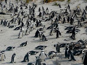 Photo: Jackass-Pinguine (Brillenpinguine)