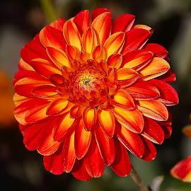 Dalhia n00077 by Gérard CHATENET - Flowers Single Flower