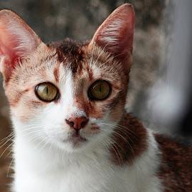 Bullet by Aditi Chakraborty - Animals - Cats Portraits ( orange, kitten, white, brown, cute,  )