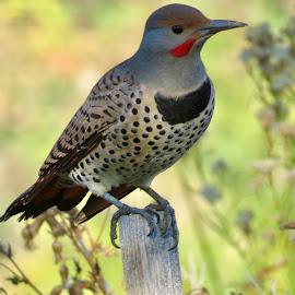 Northern Flicker  by Nick Swan - Animals Birds ( northern flicker, nature, woodpecker, wildlife )