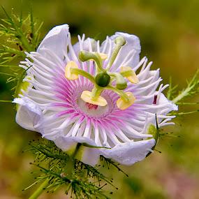 by ERFAN AFIAT SENTOSA - Flowers Flowers in the Wild
