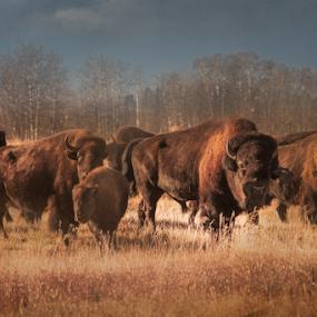 Buffalo  by Tara McKenzie - Animals Other Mammals ( #buffalo #fall #animals #brown #photgraphy #wildlife #nature #seasone, #photography )