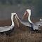 Pelicans Beak to Beakphotoshop_resize1600.jpg