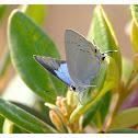 Tajuria cippus 雙尾灰蝶