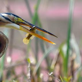 Purple heron with fish by Vijay Singh Chandel - Animals Fish ( picoftheday, bird of prey, fish, birds, bird photography )