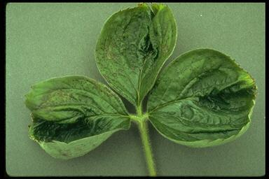 Calcium deficiency on new leaves.
