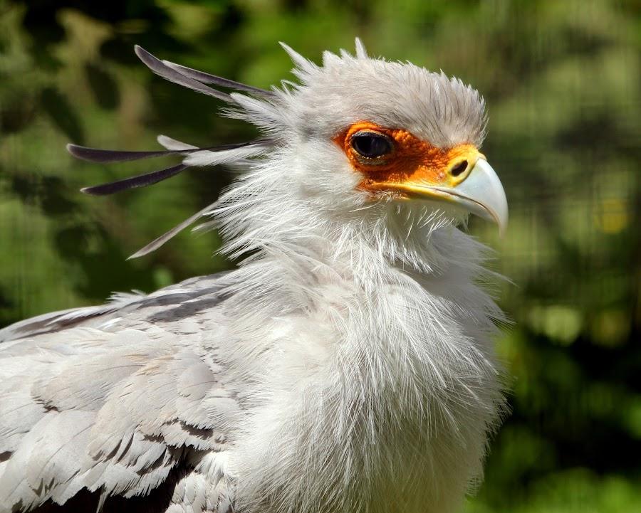Secretary Bird by Ralph Harvey - Animals Birds ( bird, wilsdlife, secretary bird, ralph harvey, marwell zoo )