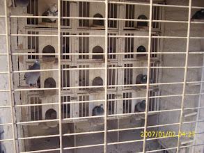 """Photo: Palomar de machos reproductores de la linea de la """"057""""."""