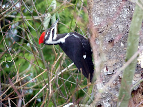 "Photo: The crow sized Pileated Woodpecker is the largest in the Woodpecker family and has a striking large red crest. Their""Wuk, wuk, wuk,.."" call can be heard a long way off: http://www.allaboutbirds.org/guide/pileated_woodpecker/id"