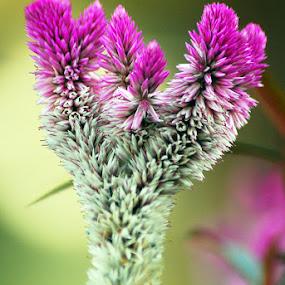 I Am Pink 2 by Enggus Fatriyadi - Nature Up Close Flowers - 2011-2013