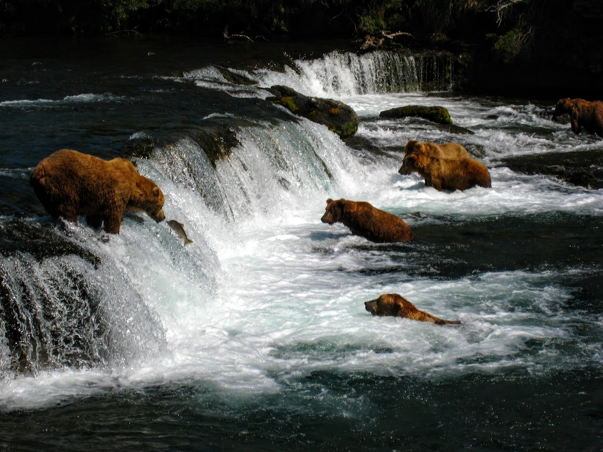 Dominant male watching a salmon jumping