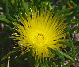 Photo: 116. This is false iceplant, a succulent ... Conicosia pugioniformis.