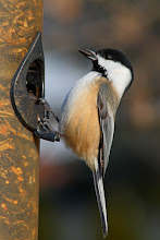 Photo: #BackyardBirdingMonday curated by +Celeste Odono and +Ricky L Jones  Maybe the same chickadee as my last post, this time gathering seeds for its garden next spring.