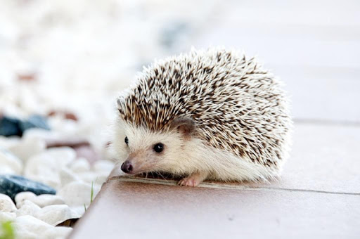 Hedgehogs Wallpapers HD FREE