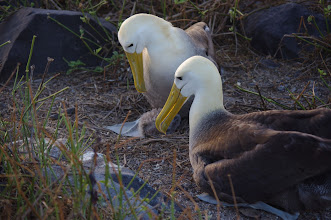 Photo: Another Albatross has joined the world