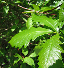 Photo: Swamp White Oak (Quercus bicolor)