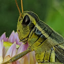 Two stripe grasshopper