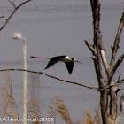 Black-winged Stilt; Cigüeñuela