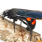 Giant Scoliid Wasp