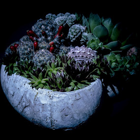 by Antun Lukšić - Flowers Flower Arangements
