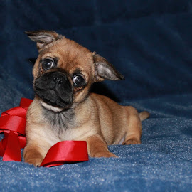 Just A Pup by Patricia Phillips - Animals - Dogs Portraits ( dogs puppies pugs pekingese )