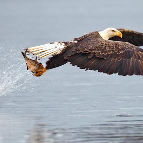 Fresh Shad Holy Grail by Herb Houghton - Animals Birds ( eagle, bird of prey, shad, fish, bald eagle, raptor, herbhoughton.com, fishing )