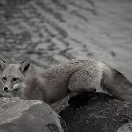 red fox turned grey by Mick Leppien - Black & White Animals