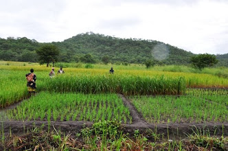 Photo: NAFAKA demoplot in Kalengakelu village, Mlimba, Morogoro TZ with different subplots of SRI compared to traditional planting [Photo by Erika Styger, 2012].