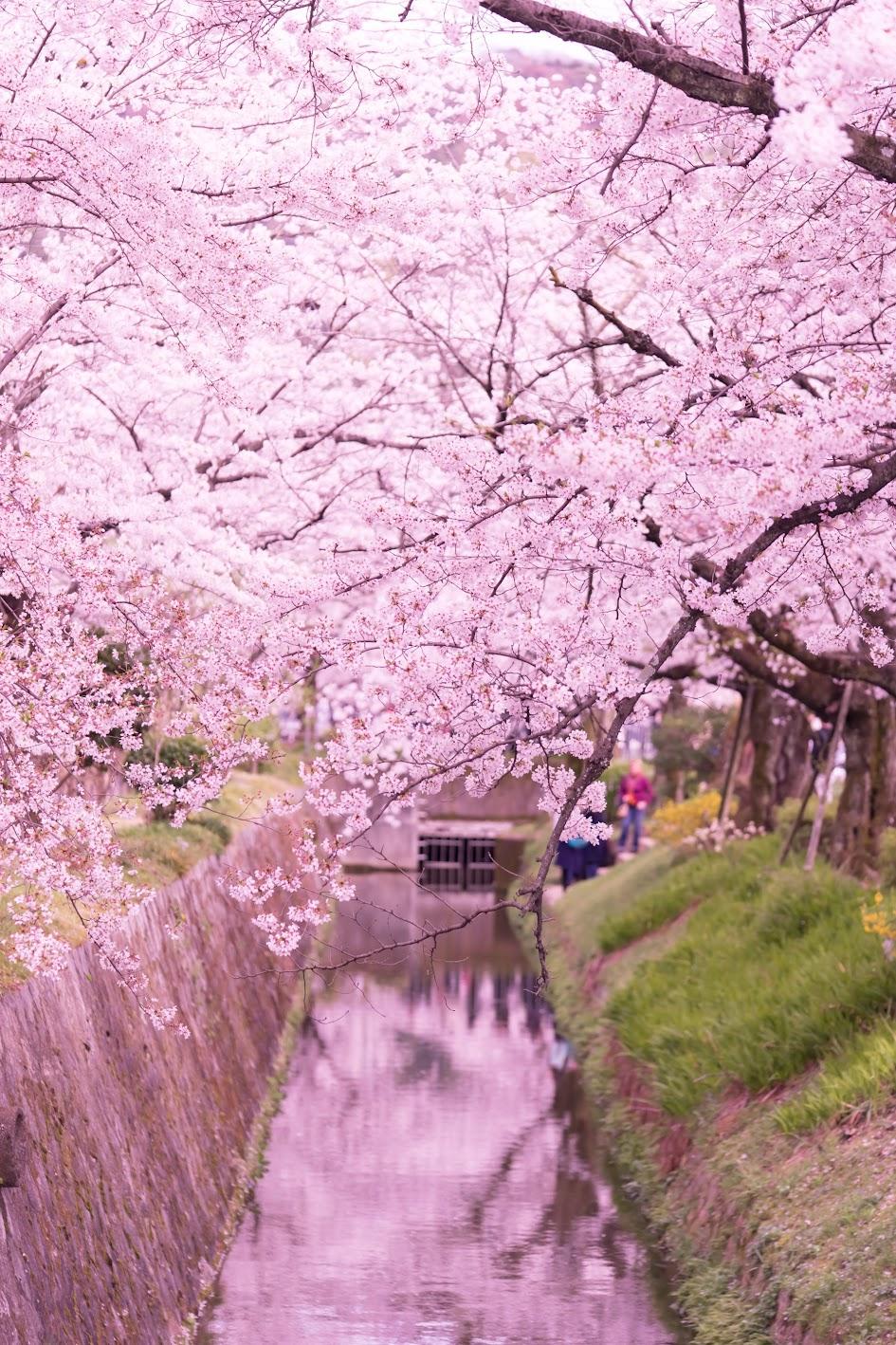 京都 桜 哲学の道6