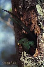 Photo: 1B090018_Kostaryka - Quetzal – ptak symbol wielu krajów Ameryki Środkowej, a także Majów i Azteków