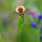Bee-fly; Mosca Abeja